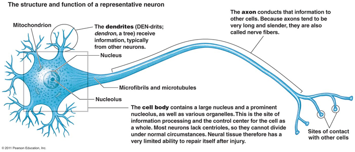 The structure and function of a representative neuron.  Image Courtesy: Pearson Education, Inc.
